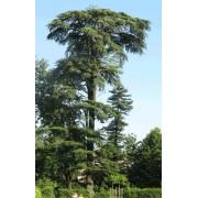 Cedrus Libani - 10 graines