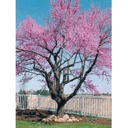 Cercis Canadensis - 10 graines