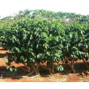 Coffea Canephora - 10 graines