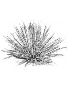 Agaves, yuccas & beaucarneas - vente par correspondance