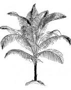 Nos palmiers résistants au genlées